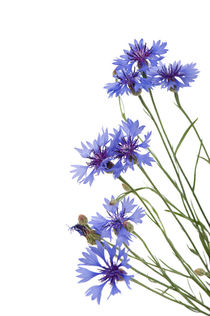 Slant blue cornflower flowers by Arletta Cwalina
