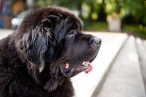 large black Newfoundland dog by Arletta Cwalina