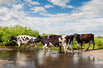 Herd of cows walking across pool by Arletta Cwalina