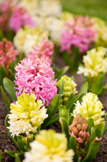 Hyacinthus blooming pink and white by Arletta Cwalina