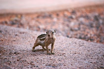 Valley-of-fire-chipmunk