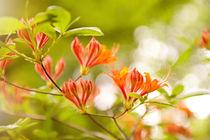 Azalea Glowing Embers orange flowers by Arletta Cwalina