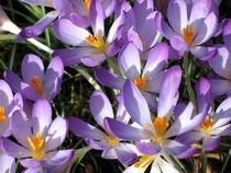 Purple Crocus Flowers by Jacqi Elmslie