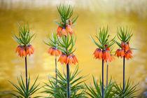 Orange lily flowers Fritillaria imperialis von Arletta Cwalina