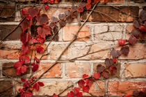 Red ivy leaves creeper on wall by Arletta Cwalina