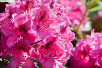 Rhododendron or Azalea blossoms bunch by Arletta Cwalina