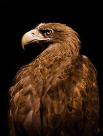 Aquila chrysaetos Golden eagle von Arletta Cwalina