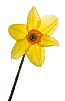 Daffodil  by Jeremy Sage