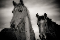Horses on fence von a-costa