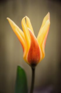 Tulip beauty by Jeremy Sage