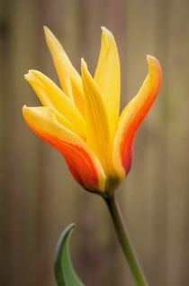 Tulip by Jeremy Sage