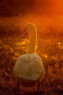 Impression of gold, swan in Nature by Tanja Riedel