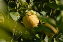 Sorrento-lemon-3