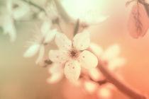 Zartes Pastell Blüten Makro by Tanja Riedel