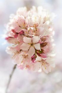 zarte Blütenpracht von Marcus Hennen