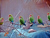 Queue of lovebirds by Barbara Imgrund