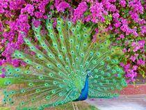 Blooming peacock by Barbara Imgrund
