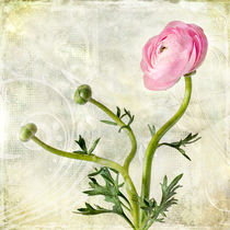 Pink buttercup by Barbara Corvino