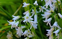 White Bells by Clare Bevan