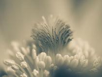 Pasqueflower in white von brava64