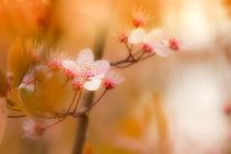 Frühlingsblüte by fraenks