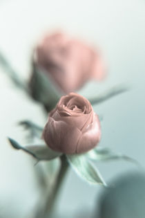 A Pink Rose for your Sweetheart... von Peter-André Sobota