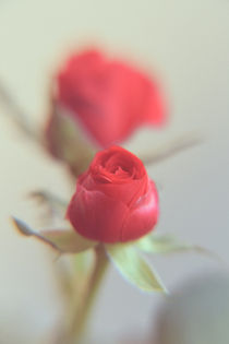 A Red Rose for your Sweetheart...