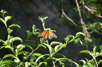 Monarch Butterfly by Malcolm Snook