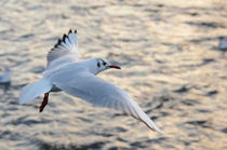 Little Gull by Malcolm Snook