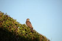 Sparrowhawk von Malcolm Snook