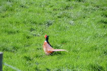 Pheasant by Malcolm Snook