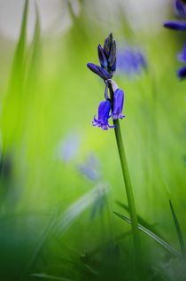 English woodland bluebell by Jeremy Sage