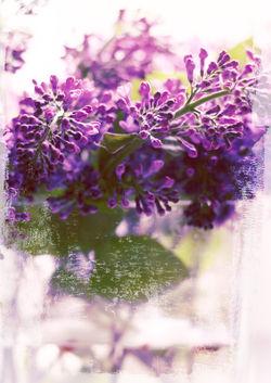 Lilac-c-sybillesterk