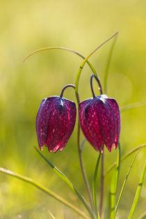 Schachblume (Fritillaria meleagris) by Walter Layher
