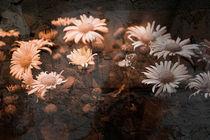 Asphaltblumen von Nicole Frischlich