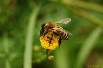 Der Wespenflug von malin