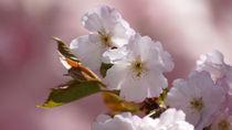 Wildkirsche, Japanische Kirsche von Eva-Maria Di Bella