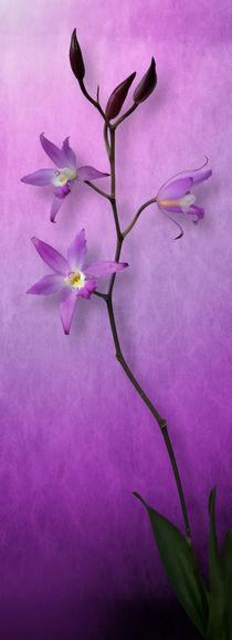 Orchid Window von Cesar Palomino