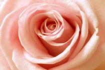 Rosa-rose-1001b-cut-6000m