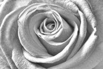 Rosa-rose-1001b-cut-6000z