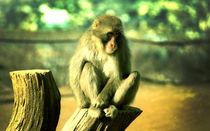 Monkey by Giorgio Giussani