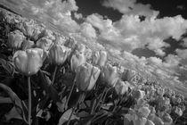 Mono Tulips  by Rob Hawkins
