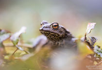 Erdkröte (Bufo bufo) von Karl-Heinz Huil
