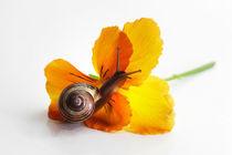 Kleine Schnecke auf Blüte von Tanja Riedel