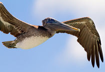 Pelican in flight from the 7 Mile Bridge, Florida Keys von mbk-wildlife-photography