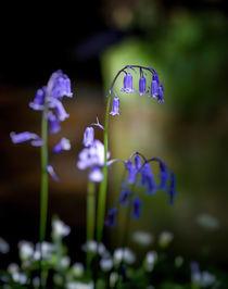 British Bluebells von Leighton Collins