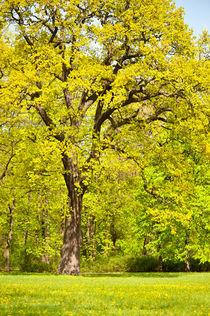 Large spring oak tree by Arletta Cwalina