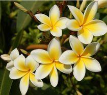 Bali Blume Bunga Kamboja von Asri  Ballandat