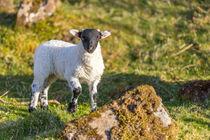 Sheepworld by Christine Berkhoff