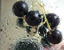 Wassertropfen auf schw.Johannisbeeren von Thea Ulrich